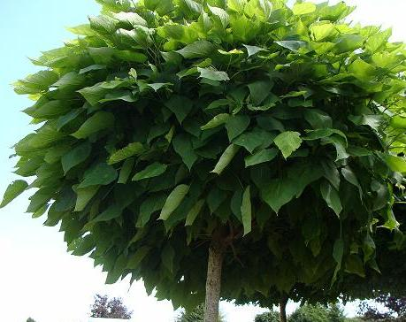 catalpa bignonioides 39 nana 39 bolcatalpa trompetboom. Black Bedroom Furniture Sets. Home Design Ideas