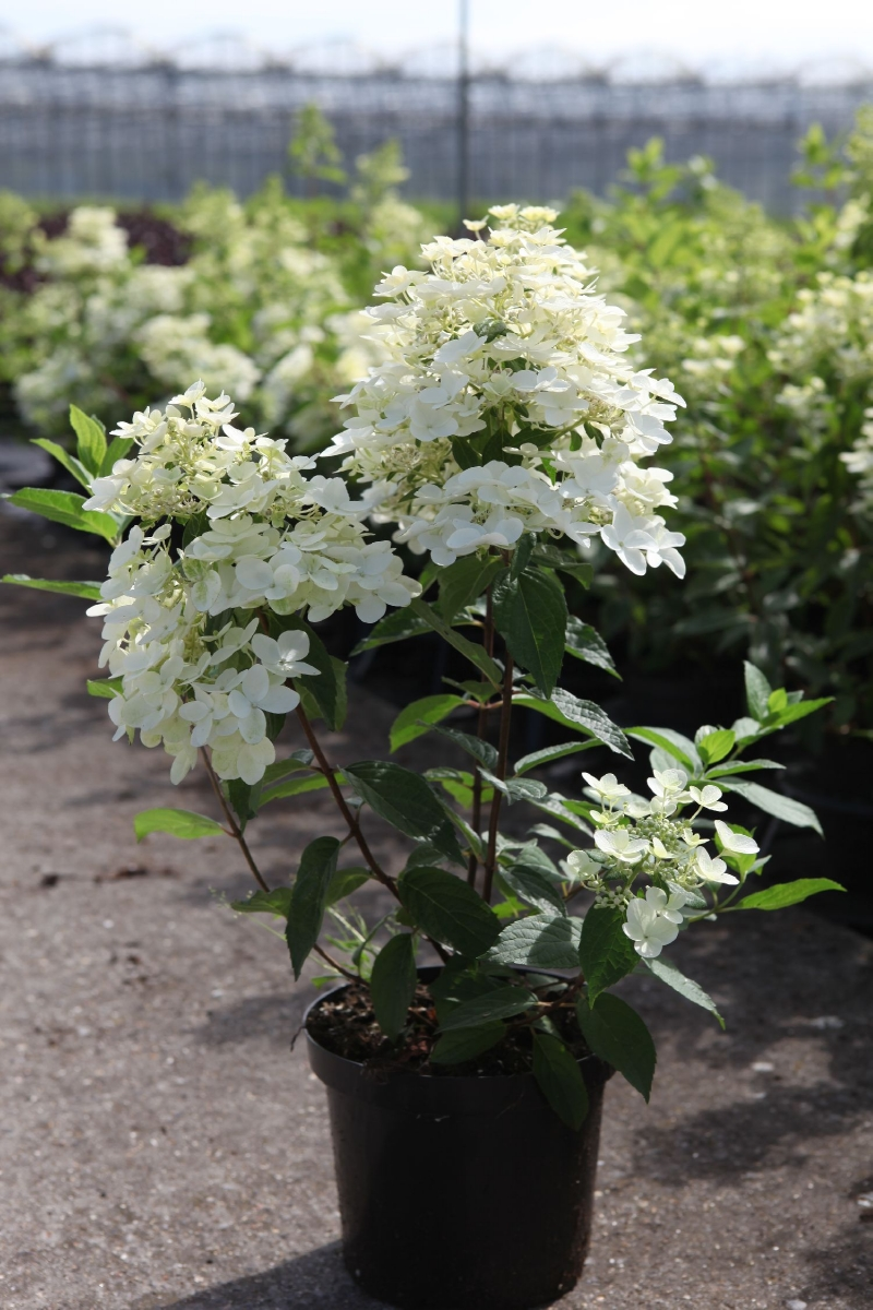 hydrangea paniculata 39 kyushu 39 pluimhortensia. Black Bedroom Furniture Sets. Home Design Ideas